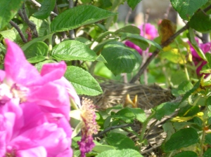 baby robin, bird, rose
