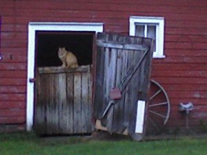 Cat, barn cat, cook's country connection