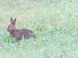 showshoe hare, bunny, wild,