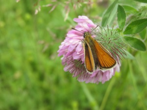 Fiery skipper, butterfly, four wings