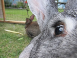 flemish Giant rabbits, bunnies, petting farm