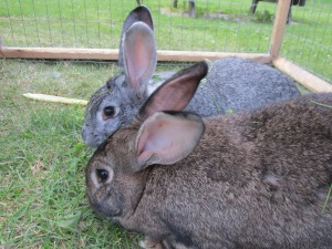 flemish giants, bunnies, rabbits, petting farm, cooks country connection