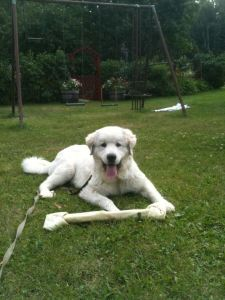 Great Pyrenees, bone, dog