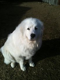 Great Pyrenees, Dog, White Dog, Cook's Country Connection