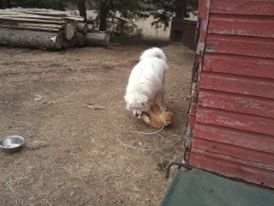 cat, barn cat, ginormous white slobbering dog