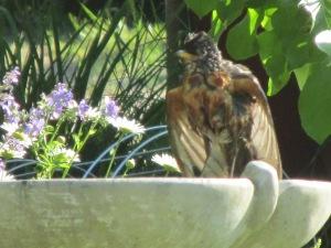 robin, birdbath