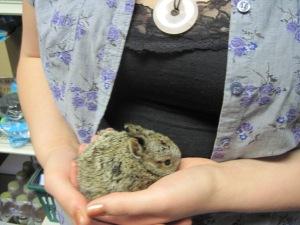 snowshoe hare, rabbit, mn