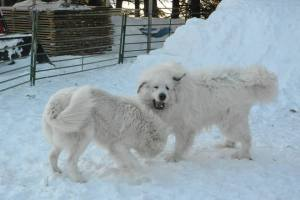Great Pyrenees, ginormous white slobbering dog, cook's country connection, petting farm,