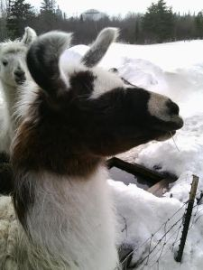 Sophie the llama