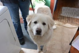 great pyrenees, ginormous white slobbering dog, sophie, cooks country connection