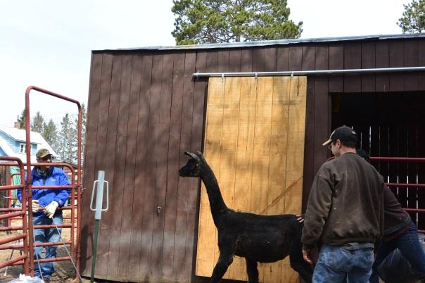 alpaca, llama, shearing, cook's country connection, cook, mn, petting farm, pajari,