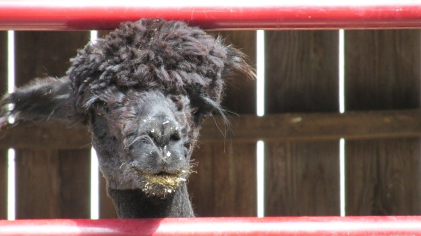 alpaca, shearing, cook's country connection, cook, mn, petting farm, pajari,