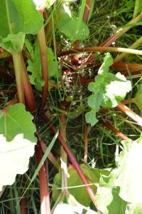 rhubarb 003