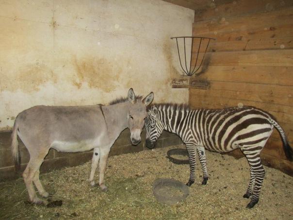 zebra, donkey, zonkey