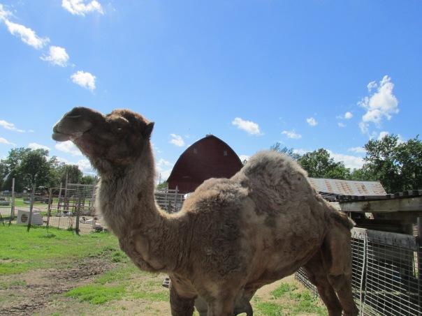 camel, petting farm
