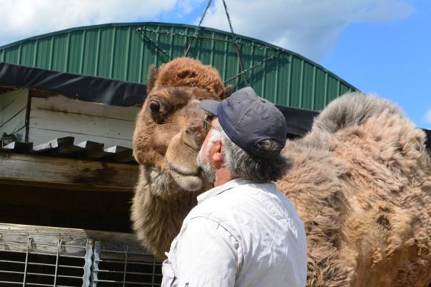 camel kisses, petting farm