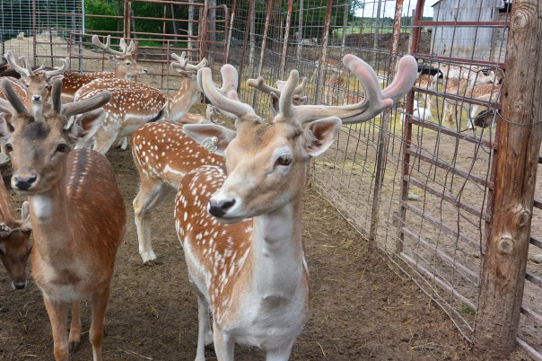 fallow deer, red deer