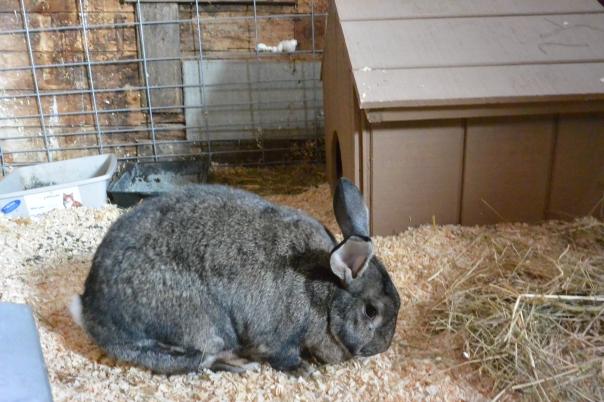flemish giant, rabbit, bunny, clara, walter,