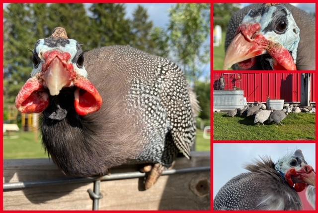 guinea collage