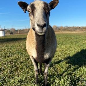 Momma sheep (2)