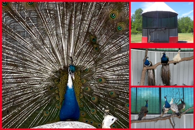 peafowl collage